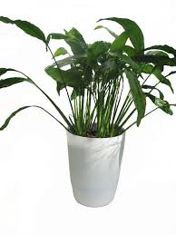 peace lily inside urban green spathiphyllum peace lily