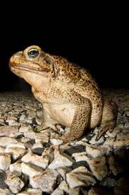 How To Get Rid Of Cane Toads In Backyard Team Bufo U0027s New Ideas On Cane Toad Control