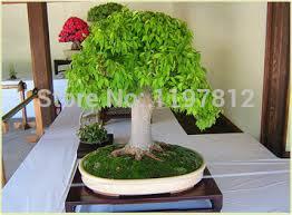 aliexpress buy on sale mini potted plants 5pcs oak tree