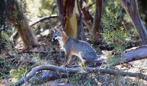on the trail of the surprisingly mysterious gray fox bay nature