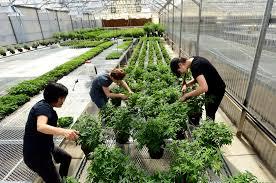 lafayette florist hemp operation opens in storied lafayette florist greenhouse