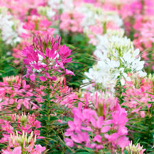 Cleome Flower - cleome seeds fireworks mix all flower seeds flower seeds