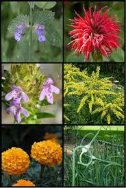 12 garden plants that repel mosquitos so you can enjoy being