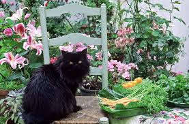 lily toxicity are lilies poisonous to cats