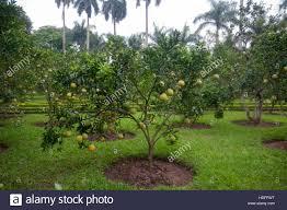 Flower Garden Hanoi by Hanoi Vietnam Fruit Trees In The Gardens Of The Ho Chi Minh