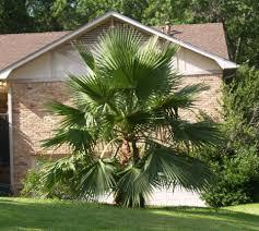 hardy palms for northeast texas east texas gardening