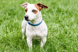 american eskimo dog rescue wichita ks collar allergies in dogs symptoms causes diagnosis treatment