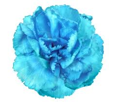 blue carnations blue flower of carnation stock photo colourbox
