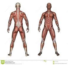 3d Human Anatomy Human Anatomy Muscles 3d Human Anatomy Charts