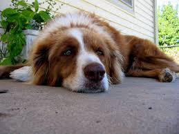 Signs And Symptoms Of Blindness 7 Warning Signs That Your Dog Has Heartworms Petful