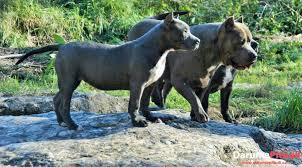 american stanford terrier y american pitbull terrier american pitbull la grandeza de una raza legendaria
