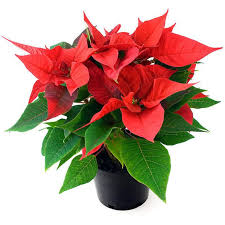 the history of the poinsettia christmas plant clare florist blog