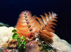 manayunkia aestuarina also known as the fan worm phylum