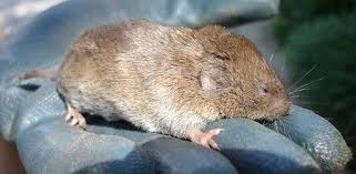 Can You Bury Animals In Your Backyard How To Deal With Voles Field Mice In Your Yard Or Garden