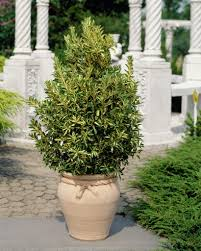 Japanese House Plants Spindle U2022 Euonymus Japonicus U2022 Japanese Spindle U2022 Plants U0026 Flowers