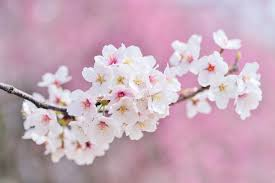 Cherry Blossom Facts by The Chinese Language Has Some Surprising Facts Find Them Out Here