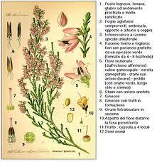 canula fiore calluna vulgaris wikivisually