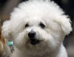bichon frise grooming guide how to comb a bichon frise pets