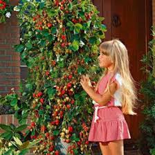 discount strawberry tree seeds 2017 strawberry tree seeds on