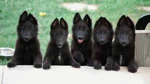 belgian sheepdog guard dog belgian sheepdog spockthedog com