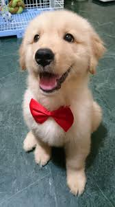 cutest golden retriever puppy the expression cannot handle