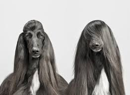 afghan hound de 1 mes 36 animals who have better hair than we do slice ca