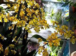 Hilo Flowers - pictures of flowers oncidium orchids
