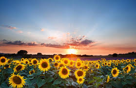 sunflower pictures sunflower summer sunset landscape with blue skies photograph by