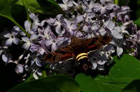 a hummingbird moth on lilac bush outdoor photographer