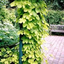 humulus lupulus aureus ornamental hops vines humulus lupulus