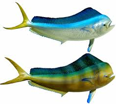 bull dolphin mounts by king sailfish mounts