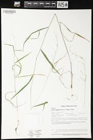 Wisconsin Usa Map Online Virtual Flora Of Wisconsin Cinna Latifolia
