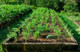 Vegetable Beds Vegetable Crops For Narrow Beds And Wide Rows Harvest To Table