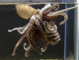 rare kissing octopus unveiled