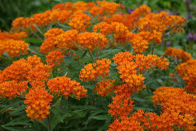 25 native plants for the asclepias tuberosa milkweed native perennials at plant more