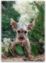 haircuts for yorkies with thin hair karla s cottage a furry transformation