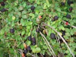 What Fruit Trees Grow In Texas - dewberries 2012 or answering the when and where of fruit picking