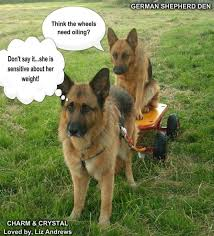 Funny German Shepherd Memes - top 8 funny german shepherd memes that broke the internet