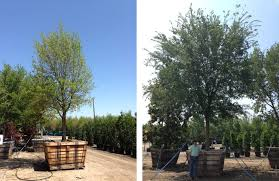 live oak trees for sale in dallas fannin tree farm