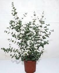 silver drop eucalyptus eucalyptus plants solidaria garden