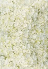 white hydrangeas white hydrangeas calyx flowers inc