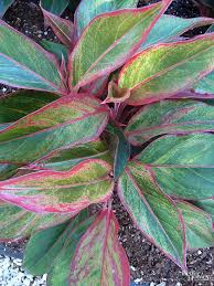 Indoor House Plants Low Light 8 Best Plants Indoor Images On Pinterest Low Light Plants