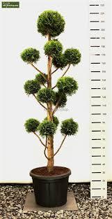 Pom Pom Trees Chamaecyparis Lawsonia Stardust Pom Pom Wp 1 Jpg