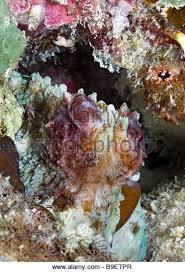 common reef octopus stock photos u0026 common reef octopus stock