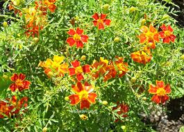 square foot gardening flowers square foot gardening is simply using easily maintained herbed