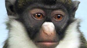 Colorful Pictures Bbc Earth Colourful Faces Help Monkeys Recognise Each Other