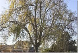 bonsai saule pleureur taille saule pleureur au jardin forum de jardinage