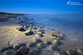 Delaware is it safe to travel to mexico images How to see a zillion horseshoe crabs spawning in the delaware bay jpg