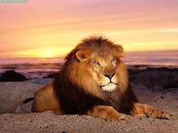 Imagenes De Leones Salvajes Gratis | leones salvajes buscar con google animales pinterest