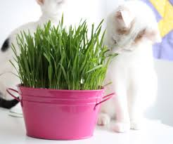how to grow cat grass 5 steps with pictures